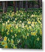 Woodland Daffodils Metal Print by Bill Wakeley