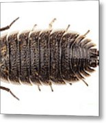 Woodlouse Species Porcellio Wagnerii Metal Print