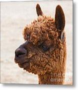 Woolly Alpaca Metal Print