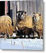 Wooly Sheep In Winter Metal Print