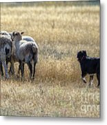 Working Sheep Metal Print