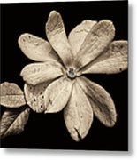 Wounded White Magnolia Wide Version Sepia Metal Print