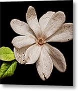 Wounded White Magnolia Wide Version Metal Print