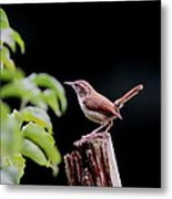 Wren - Carolina Wren - Bird Metal Print