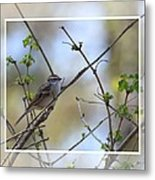 Wren In Spring 2013 Metal Print
