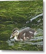 Wye Dale Duckling Metal Print