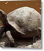 yawning juvenile Galapagos Giant Tortoise Metal Print