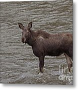 Yearling Moose In The Shoshone River   #1284 Metal Print