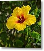 Yellow - Beautiful Hibiscus Flowers In Bloom On The Island Of Maui. Metal Print