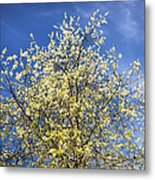Yellow And Blue - Blooming Tree In Spring Metal Print