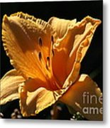 Yellow And Cream Day Lily Metal Print