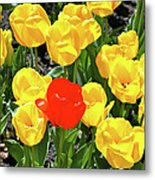 Yellow And One Red Tulip Metal Print