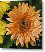 Yellow And Peach Daisy Metal Print