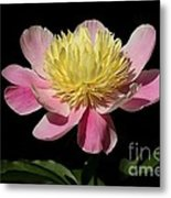 Yellow And Pink Peony Metal Print