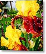 Yellow And Purple Iris Metal Print