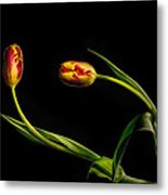 Yellow And Red Tulips On Black - Reaching Out Metal Print