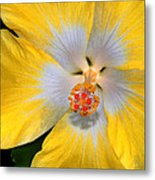 Yellow And White Hibiscus Metal Print