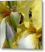 Yellow And White Iris Metal Print