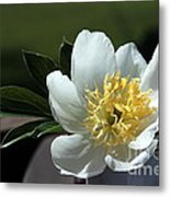 Yellow And White Peony Flower Metal Print