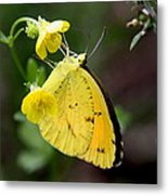 Yellow And Yellow Sulphur Butterfly Metal Print