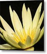 Yellow And Yellow Waterlily...   # Metal Print