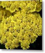 Yellow Beauties Metal Print by John Holloway