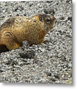 Yellow-bellied Marmot   #5187 Metal Print