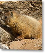 Yellow Bellied Marmot Checking Out The Neighborhood In Rocky Mountain National Park Metal Print