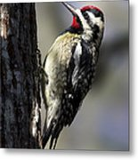 Yellow Bellied Sapsucker Metal Print