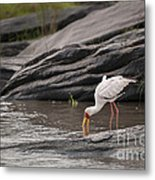 Yellow-billed Stork Fishing In River Metal Print