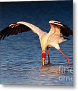Yellow-billed Stork Hunting For Food Metal Print