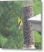 Yellow Bird Feeding Metal Print