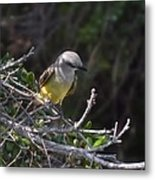 Yellow Breasted Kingbird Metal Print