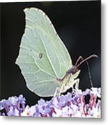 Yellow Brimstone Metal Print