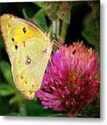 Yellow Butterfly On Pink Clover Metal Print