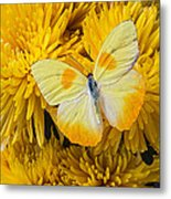 Yellow Butterfly On Yellow Mums Metal Print