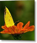 Yellow Cabbage Moth Metal Print
