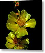 Yellow Cactus Flowers And Buds Metal Print