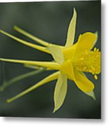 Yellow Columbine Metal Print