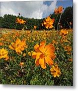 Yellow Cosmos Field In Flower Japan Metal Print
