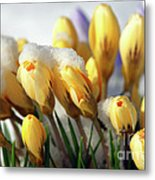Yellow Crocuses In The Snow Metal Print