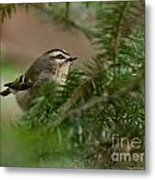 Yellow-crowned Kinglet Metal Print