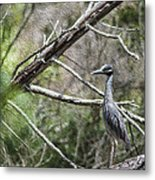 Yellow Crowned Night Heron Metal Print by Frank Feliciano