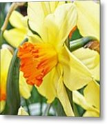 Yellow Daffodils  Metal Print by Cathie Tyler