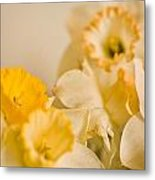 Yellow Daffodils Metal Print by John Holloway
