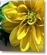 Yellow Dahlia Closeup Metal Print