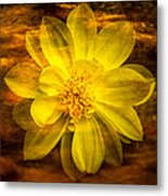 Yellow Dahlia Under Water Metal Print
