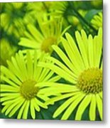 Yellow Daisies Close-up Metal Print