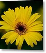 Yellow Daisy Metal Print