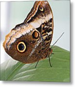 Yellow-edged Giant Owl Butterfly #3 Metal Print